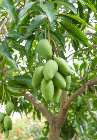 fresh green mangos on the tree Wait for the harvest