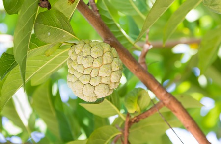 custard apple fruit: custard apple fruit on tree in the garden