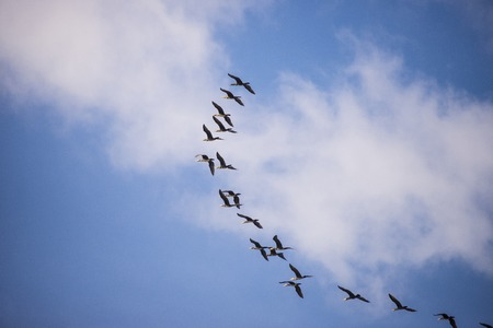 Flying flock of ducks on blue sky with clouds