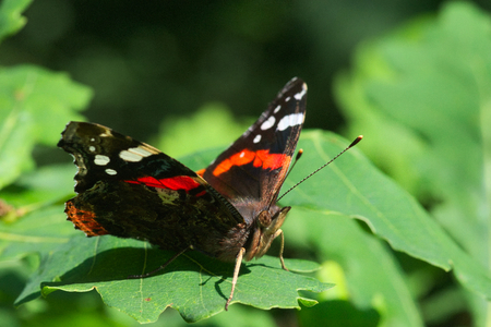 Red admiral butterfly sitting on a leaf and basking