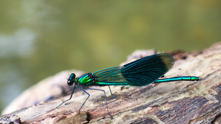 Metallic green dragon sitting on a tree trunk near a lake and basking