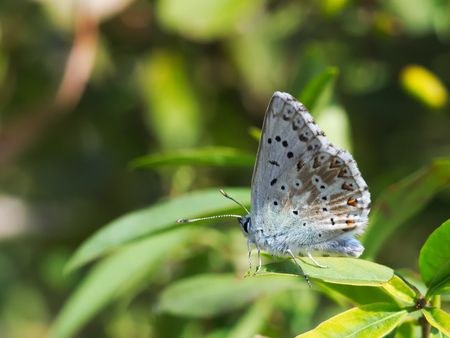 Chalkhill blue butterfly sitting on a branch