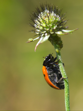 Ladybug climbing the top of a flower