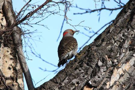 flicker: Northern Flicker in a tree Stock Photo