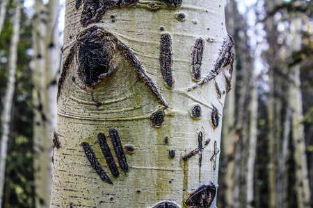 Bear claw marks in a tree, Alberta, Canada