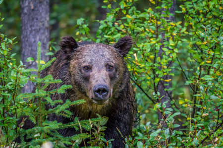 Grizzly peering through the brush, Banff National Park, Alberta, Canada