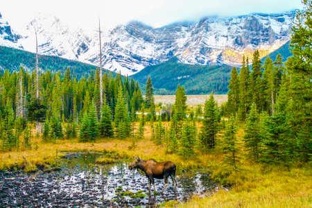 牧草地のムース、ピーター・ルーヒード州立公園、アルバータ州、カナダ