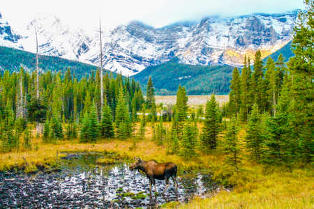 Moose in a meadow, Peter Lougheed Provincial Park Park, Alberta, Canada 版權商用圖片 - 93152547