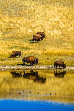 bison by a pond, Waterton Lakes National Park, Alberta, Canada 免版税图像
