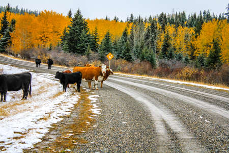 Cows on the road in late fall, Kananaskis country, Alberta, Canada