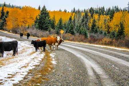 Koeien op de weg in recente herfst, Kananaskis-land, Alberta, Canada