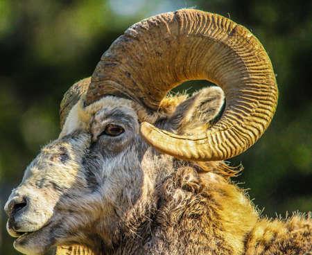Big horn ram, Banff National Park, Alberta, Canada