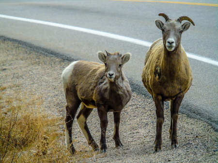 Big horns on the road side, Jasper National Park, Alberta, Canada