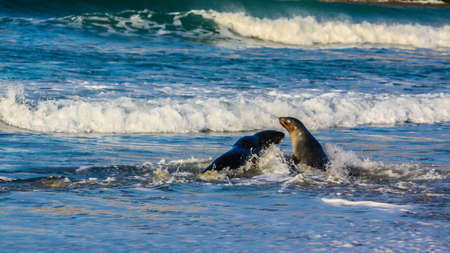 Australasian Fur seal on the beach and in the ocean, Otago, New Zealand Stock Photo