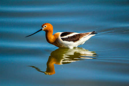American Avocet, Bruce Lake, Alberta, Canada Stock Photo