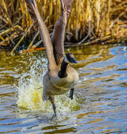 Canada Goose in Frank Lake, Alberta