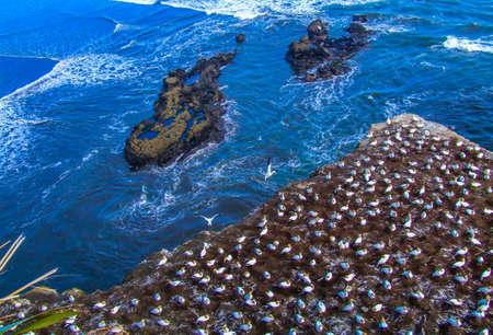 Gannets, Muriwai Beach, Auckland, New Zealand