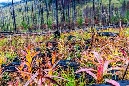 Prescribed burn area, Bow Valley Parkway, Banff National Park, Alberta, Canada Фото со стока