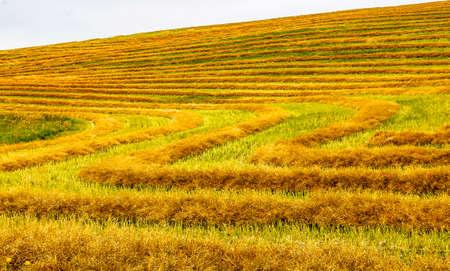 Hedge rows in a field, Kneehill County, Alberta, Canada Stock fotó