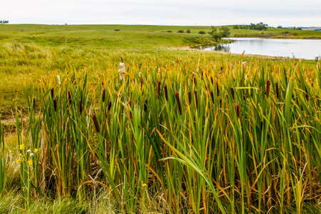 Bull rushes and road side pond, Kneehill County, Alberta, Canada 写真素材