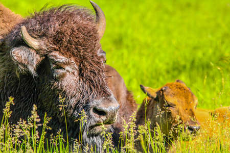 Bison mon with calf, Elk Island National Park, Alberta, Canada Stock Photo