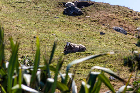 domestic sheep taking a rest on a cliff side overlooking capoe edgemnt in the taranaki region of New Zealand 写真素材