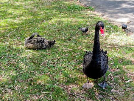 Black swan strikinmg many poses while struting around his turf