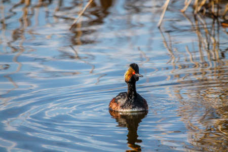 Eared grebe with its peercing red eyes swims on a lake in sounthern alberta Stock Photo