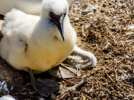 Gannet hens and chicks nest on the rocky outcrop of their colony on the hill top