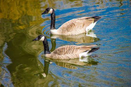 Canada goose takes flight, Frank Lake, Alberta, Canada 写真素材