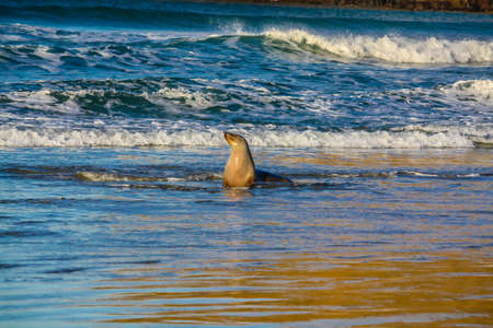 a pair of fur seals frolic in the surf