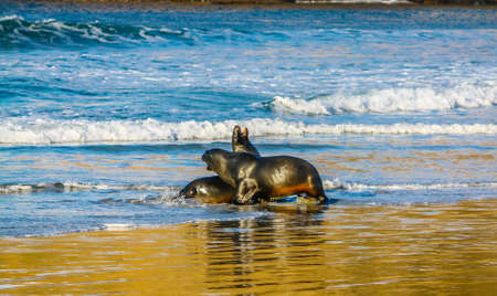 a pair of fur seals frolic on the beach