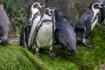 humbolt penguins frolic in the water and on land