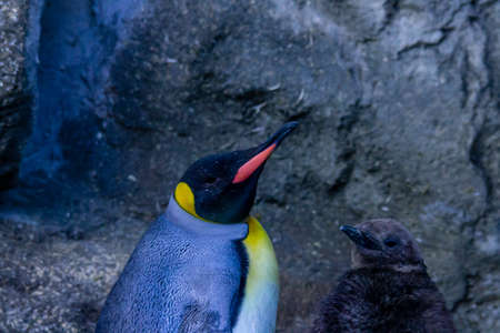 A King penguins checks out his domain, captivity, Calgary, Alberta, canada