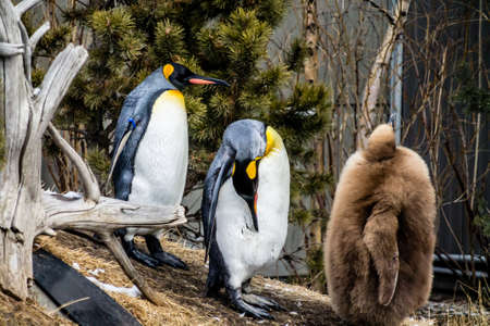 a king penguin chick takes as troll under the watchful eye of a parent Stock Photo