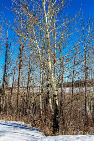 Leafless trees are a dominate showing during the harsh winters in elk island national park Stock Photo