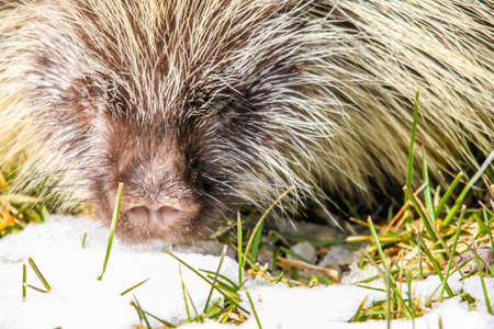 a porcupine grabs a quick bite of snow to cool down