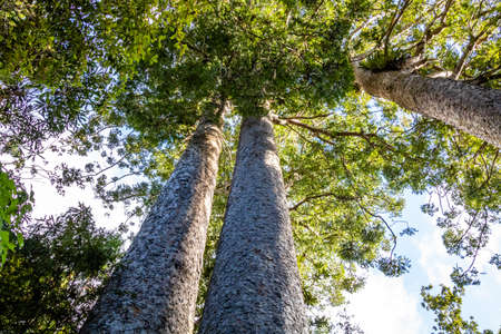 Kauri trees are procted species, Waiau Kauri Grove, Coromandel, New Zealand Stock Photo