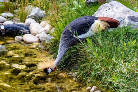 African crowned crane foraging for food by the creek side. Calgary Zoo, Calgary, Alberta, Canada
