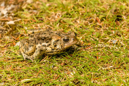 American toads gathered together on a path, Gros Morne National Park, Newfoundland, Canada Standard-Bild