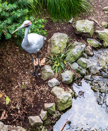 Brolga check out their compound while walking about. Auckland Zoo, Auckland, New Zealand