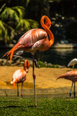 Caribean flamingos gather in groups on their island. Busch Gardens, Tampa Bay, Florida, United States. Stock Photo - 131466511