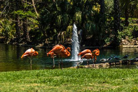 Caribean flamingos gather in groups on their island. Busch Gardens, Tampa Bay, Florida, United States. Stock Photo - 131466518