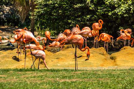Caribean flamingos gather in groups on their island. Busch Gardens, Tampa Bay, Florida, United States.