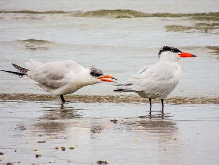 Caspian terns take a walk along the beach. Bethels Beach, Auckland, New Zealand