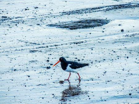 Chatham Island Oyster Catcher walks along the shore. Bethels Beach, Auckland, New Zealand