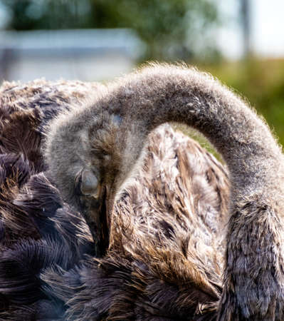Ostrich preening with eyes closed. Discovery Wildlife Park, Innisfill, Alberta, Canada