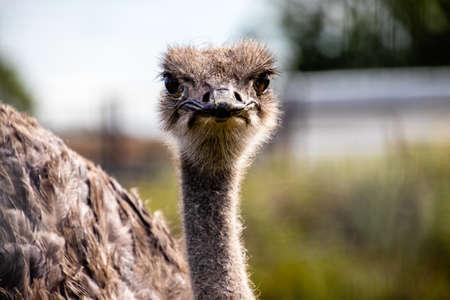 Ostrich in portrait. Discovery Wildlife Park, Innisfill, Alberta, Canada Banco de Imagens