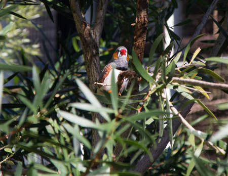 Zebra finch sitting in a tree surveying his domain. Auckland Zoo, Auckland, New Zealand Stok Fotoğraf