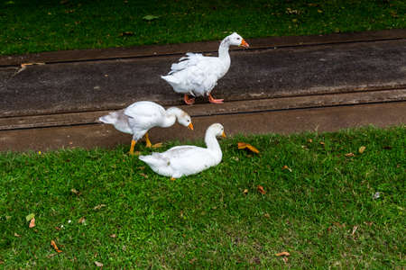 Greylag goose and juvenile goslings on a walkabout. Western Springs Pond, Auckland, New Zealand Stock Photo